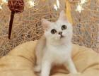 高端纯种猫咪 挑选 送货上门 价格实惠