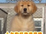 正规犬舍专业繁殖精品金毛签订协议售后无忧有保障