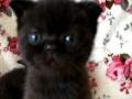 英短黑猫找新家