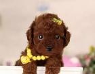 重庆精品泰迪犬 颜色齐全 苹果头大眼睛 萌动你的心
