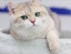 猫舍繁殖渐层猫 欢迎上门挑选