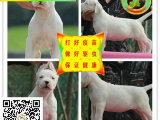 高品质繁殖基地出售纯血统高品质杜高幼犬 公母都有 价格实在!