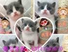 家庭繁殖-蓝白猫-折耳猫-短毛猫-蓝猫-