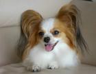 出售精品漂亮的蝴蝶犬幼犬 花色很对称可爱可活泼聪明