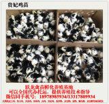 跃龙禽苗孵化出售划算的贵州贵妃鸡苗,贵州公鸡苗批发