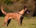 马犬纯种血统幼犬基地直销自家繁殖 纯种健康
