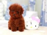 精品小玩具红泰迪,毛量大,娃娃脸,颜色深红品相绝佳