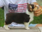 中国专业繁殖双血统柯基犬犬舍 可以上门挑选
