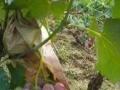 沙洼于原生态巨峰葡萄采摘园