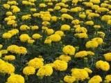 大国庆菊供应商|要买优惠的国庆菊,昭鑫花卉苗木是不二选择