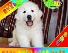 自家狗场繁殖 品质健康有保障 纯种大白熊犬签协议