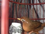 长期养殖训养画眉鸟