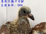 天热分棚,转让几只精品国血远程鸽 喜欢请联系