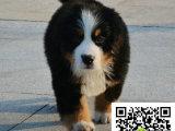 在哪里买纯种的伯恩山幼犬 伯恩山幼犬最低多少钱