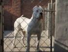 大头大骨架杜高犬 双血统杜高幼犬 品相一流 价格优惠