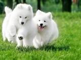 微信天使萨摩耶幼犬 驱虫疫苗已做 可签购犬协议送货上门