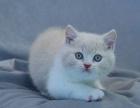 猫舍繁殖英美短毛猫生宝宝了,希望能给它们找一个新家