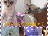 自家大猫产的小猫找新家
