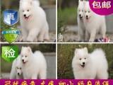 重庆双眼皮品相好 双血统萨摩耶幼犬 超级萌物 多只待售