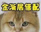 英短借配 蓝猫借配 银渐层借配 金渐层借配蓝白借配