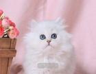 金吉拉、金银色、短鼻子蓝眼睛、银灰金吉拉猫咪