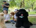 巨型贵宾犬价格,巨型贵宾犬图片
