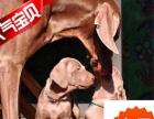 有卖威玛猎犬——威玛犬——魏玛猎犬——魏玛犬——赛级双血统