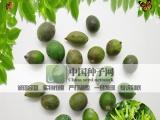 批发优质|最新采摘罗汉松种子|冷藏长青罗汉杉种子|罗汉柏树种子