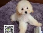 郑州哪里有贵宾犬出售 纯种小体贵宾犬价格 贵宾幼犬图片