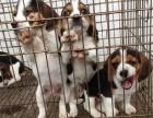 出售纯种米格鲁比格犬 健康保证 信誉保证 诚信质保