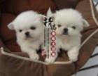 长沙哪里出售纯种京巴幼犬