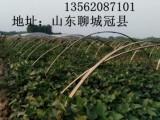 阳信县商薯19红薯苗价格济薯26号红薯苗种植西瓜红红薯苗