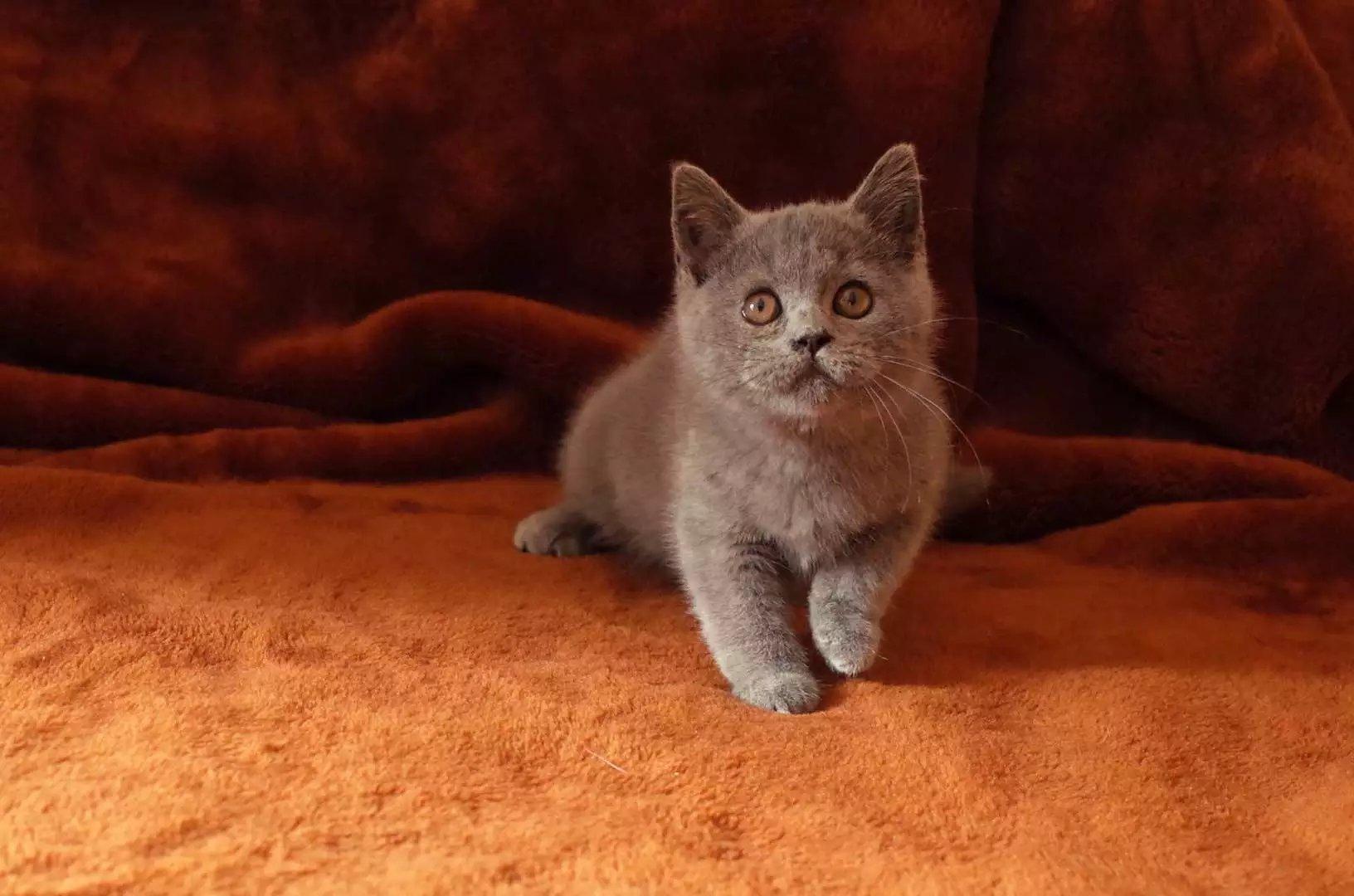 出售美短虎斑 英短蓝猫 蓝白 幼猫咪出售