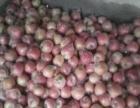 供应优质膜袋红富士苹果苹果价格