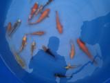 成都進口漂亮的錦鯉魚