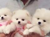 哈尔滨出售博美幼犬