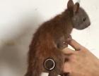 魔王松鼠幼崽 金华鼠幼崽