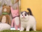 纯种加菲猫 活体 宠物猫幼猫异瞳鸳鸯眼 异短纯血统
