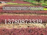 山东青州市红叶小檗幼苗现货供应,青州百轩花卉苗木