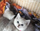 英短蓝猫一蓝白一银渐层一金吉拉宠物猫一可上门看猫