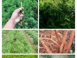 创新农业中药材种子 种苗 成品出售