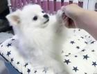 美系俊介犬 哈多利球型博美犬白富美 超萌超可爱