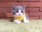 武汉猫舍自家猫舍繁殖英短银渐层,蓝猫美短纯种包健康