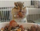 出售金花松鼠魔王松鼠