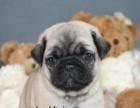 诚信交易、纯种巴哥犬、健康终身保障、签协议、送狗用品