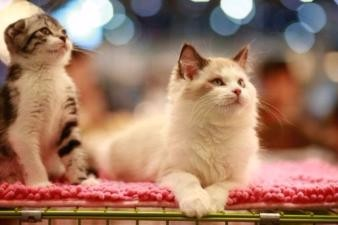 常年出售北京宠物猫布偶猫多少钱保健康签协议送货上门