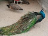 西安养殖地出售孔雀苗孵化场 成年蓝孔雀