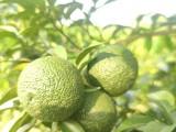 日本柚子 金盆柚