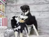 南京柴犬怎么卖的 南京日系柴犬多少钱 南京柴犬的价格
