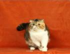 纯种泰国暹罗猫活体小猫咪家养幼猫幼崽出售